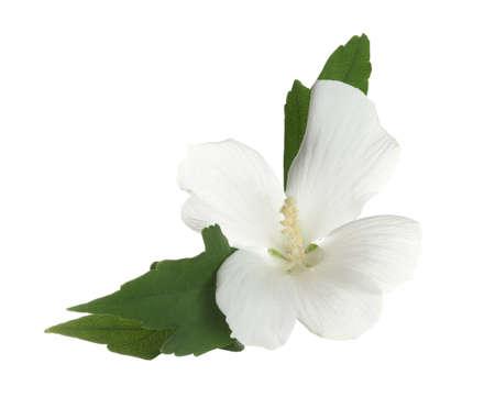 Belle fleur d'hibiscus tropical sur fond blanc