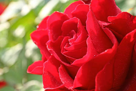 Beautiful blooming red rose in garden on summer day, closeup