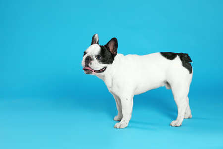 French bulldog on blue background. Space for text 写真素材