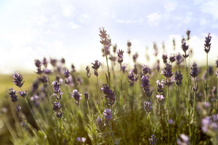 Beautiful lavender flowers in field on sunny day Stock Photo