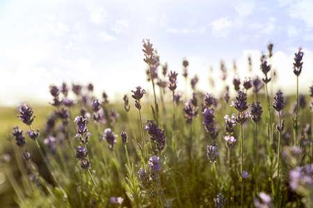 Schöne Lavendelblüten im Feld an einem sonnigen Tag Standard-Bild