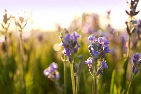Beautiful lavender flowers in field on sunny day