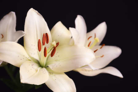 Beautiful lilies on black background, closeup view. Space for text