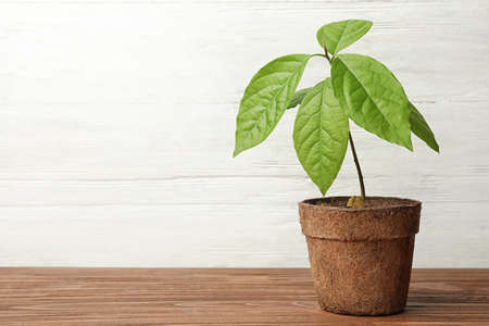 Young avocado sprout with leaves in peat pot on table against white wooden background. Space for text