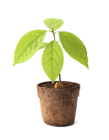 Young avocado sprout with leaves in peat pot on white background