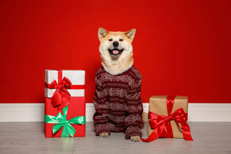Cute Akita Inu dog in Christmas sweater near gift boxes indoors Zdjęcie Seryjne