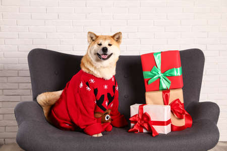 Cute Akita Inu dog in Christmas sweater near gift boxes on sofa