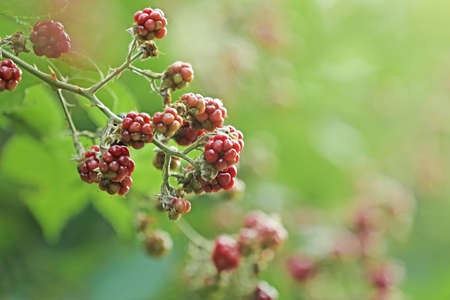 Branch with ripe and unripe blackberries on blurred background, closeup. Space for text