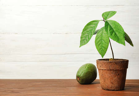 Young avocado sprout with leaves in peat pot and fruit on table against white wooden background. Space for text Imagens