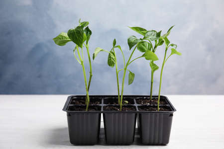 Vegetable seedlings in plastic tray on white wooden table against blue background