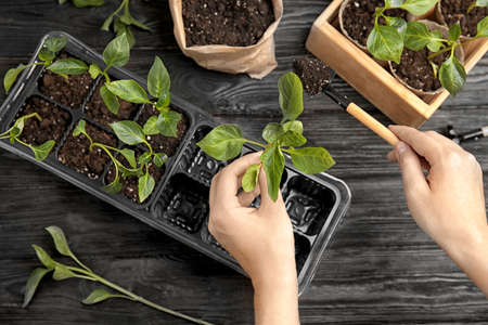 Woman taking care of seedlings at black wooden table, top view Stock fotó