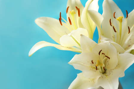 Beautiful lilies against blue background, closeup view. Space for text Stockfoto