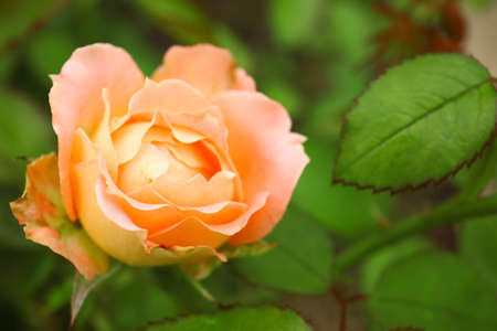 Beautiful blooming rose in green garden, closeup view. Space for text Zdjęcie Seryjne