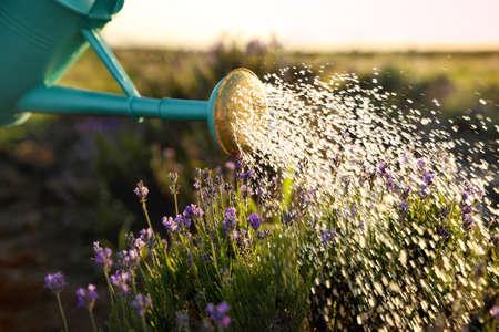 Watering blooming lavender flowers in field. Gardening tools