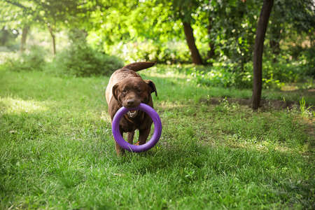 Funny Chocolate Labrador Retriever with toy in green summer park