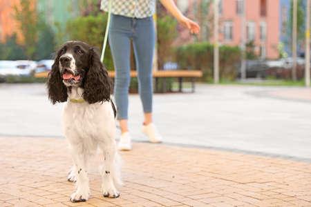 Woman walking English Springer Spaniel dog outdoors