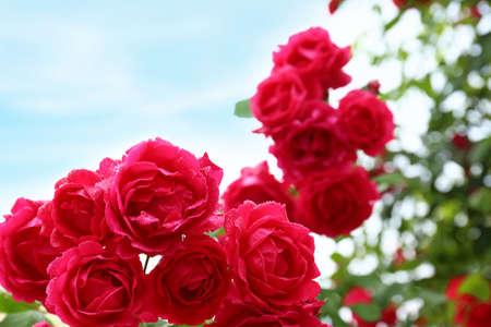 Beautiful blooming roses in green garden, closeup view