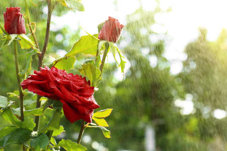 Watering beautiful blooming roses in garden on summer day. Space for text Stockfoto