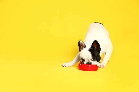 French bulldog eating food from bowl on yellow background. Space for text Stock Photo