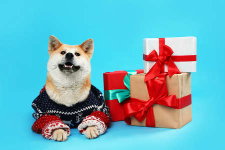 Cute Akita Inu dog in Christmas sweater near gift boxes on blue background
