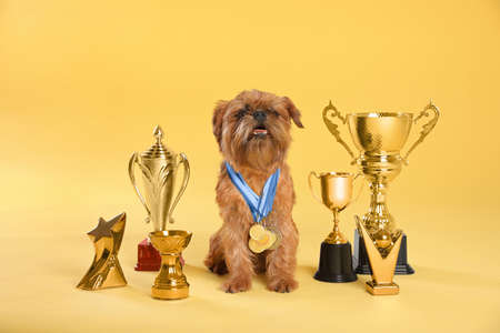 Cute Brussels Griffon dog with champion trophies and medals on yellow background