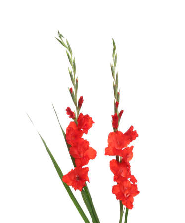 Beautiful red gladiolus flowers on white background