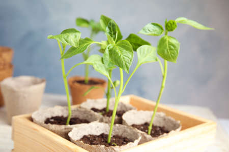 Peat pots with vegetable seedlings in wooden crate against blue background