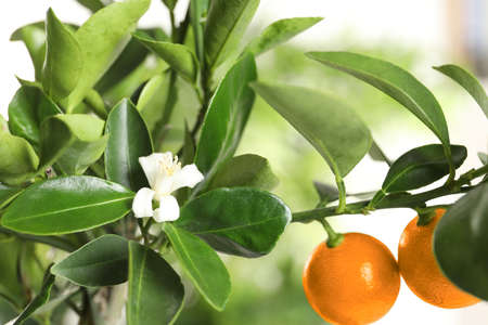Citrus tree with flower and fruits on blurred background Banco de Imagens
