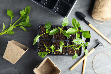 Flat lay composition with vegetable seedlings in plastic tray on grey table