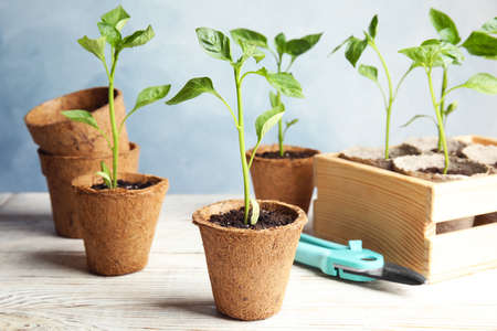Vegetable seedlings in peat pots on wooden table against blue background