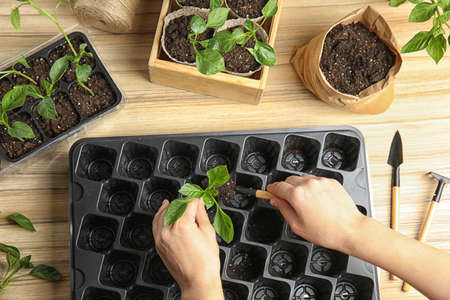 Woman taking care of seedlings at wooden table, top view
