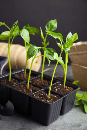 Vegetable seedlings in plastic tray on grey table against black background