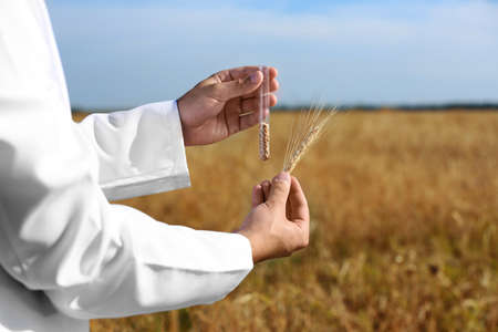 Agrónomo sosteniendo el tubo de ensayo con granos de trigo en el campo, primer plano. Cultivo de cereales Foto de archivo