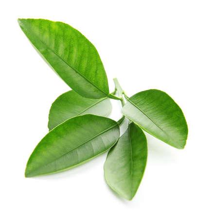 Branch of citrus leaves isolated on white 免版税图像