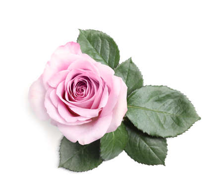 Beautiful blooming rose flower on white background, top view