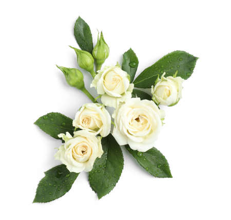 Beautiful blooming rose flowers on white background, top view Stockfoto