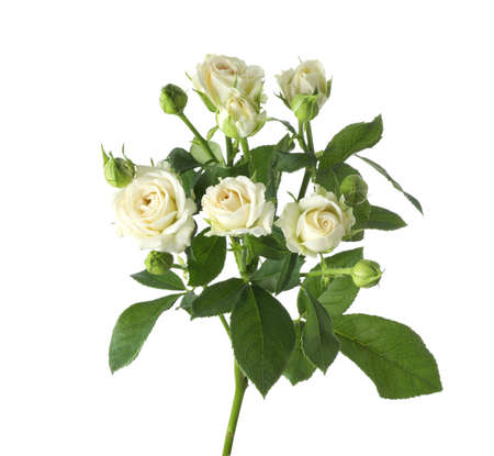 Beautiful blooming rose flowers on white background