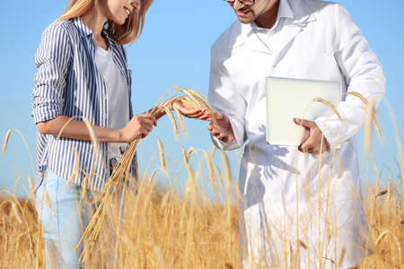 Agronomist with farmer in wheat field, closeup. Cereal grain crop