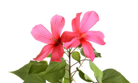 Beautiful tropical Hibiscus flowers on white background
