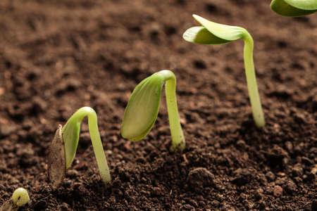 Little green seedlings growing in soil, closeup view Stock fotó