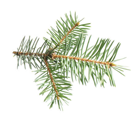 Branch of Christmas tree on white background Imagens - 128831991