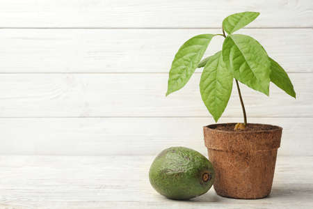 Young avocado sprout with leaves in peat pot and fruit on table against white wooden background. Space for text Stockfoto
