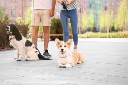 Couple walking their Pembroke Welsh Corgi and English Springer Spaniel dogs outdoors 免版税图像