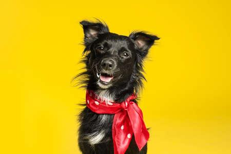 Lindo perro negro con pañuelo sobre fondo amarillo Foto de archivo