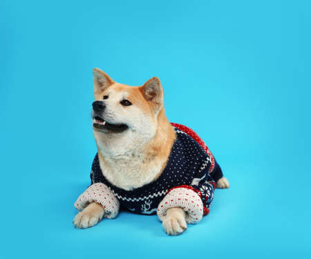 Cute Akita Inu dog in Christmas sweater on blue background