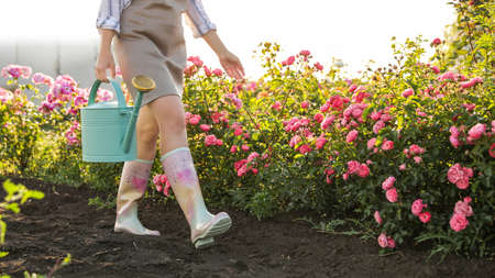 Woman with watering can near rose bushes outdoors, closeup. Gardening tool