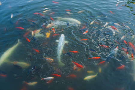 Koi carps and other fishes swimming in clear pond water