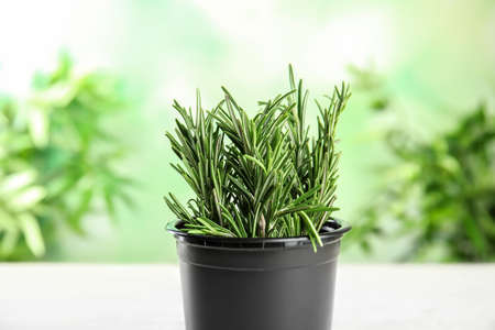 Pot with aromatic rosemary against blurred green background