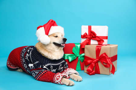 Cute Akita Inu dog in Christmas sweater and Santa hat near gift boxes on blue background Zdjęcie Seryjne