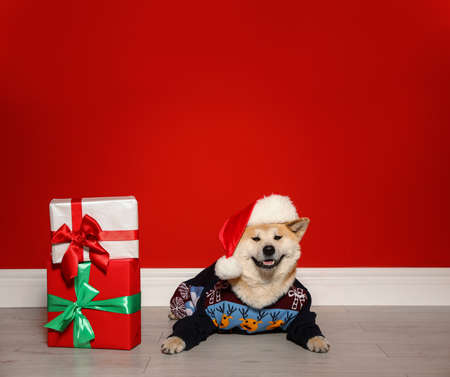 Cute Akita Inu dog in Christmas sweater and Santa hat near gift boxes indoors Zdjęcie Seryjne